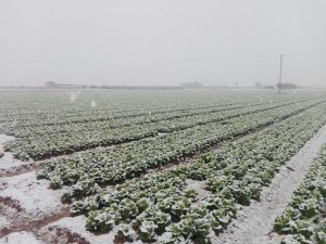 Frozen lettuce fields